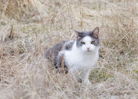 Gray and white cat with intense yellow eyes in athe brown grass on meadow during autumn