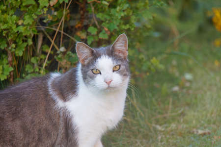 Gray and white cat with intense yellow eyes in the garden Standard-Bild