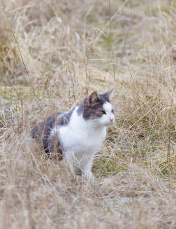 Gray and white cat with intense yellow eyes in athe brown grass on meadow during autumn, side view