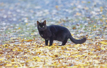 Black cat with standing on colorful leafes during autumn