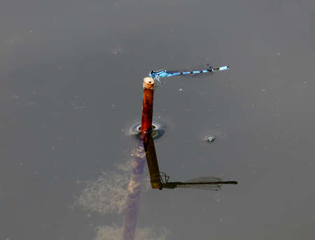 Vivid blue damselfly resting on a straw in the pond, closeup