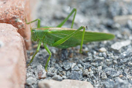 Large green bush-cricket sitting on the gravel, closeup