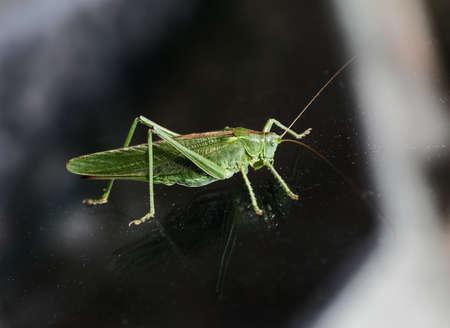 Large green bush-cricket sitting on glass, body reflecting, closeup