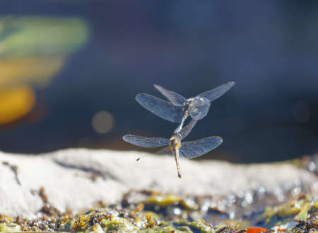 One yellow and one blue dragonfly mating above the pond. The male uses a hook to hold the females head