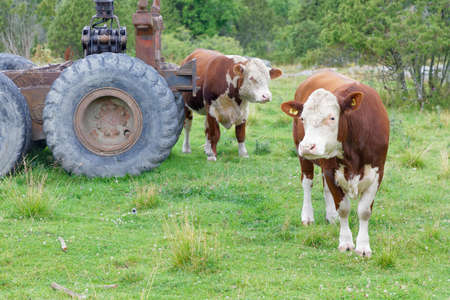 Two brown and white cows and an old tractor in the pasture