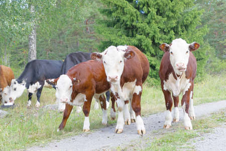 Herd of cows on a rural country path, two cows eating in the background