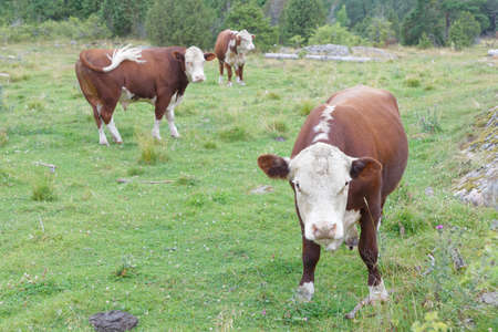 Three brown and white cows in the pasture