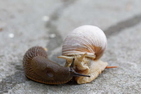 Iberiand slug and Roman snail meeting. Latin: Arion vulgaris and Helix pomatia