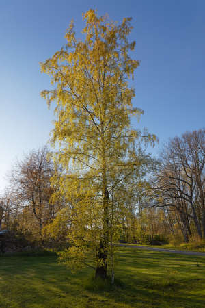 Beautiful birch tree with glowing bright green leafs during spring, blue sky in the background.