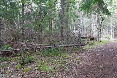 Fallen spruce trees in the forest Standard-Bild