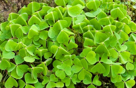 acetosella: bunch of clovers (wood sorrel), commonly found in woods all over the world, except the polar areas Stock Photo