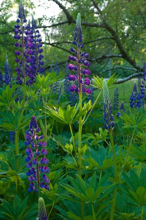 lupines: field of violet lupines found in a tree park in the Netherlands. Most species are purple, white or pink, but there are also yellow ones. Stock Photo