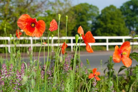 red poppies along a road in Eastern Netherlands. Poppies have long been used as a symbol of both sleep and death: sleep because of the opium extracted from them, and death because of their (commonly) blood-red color.