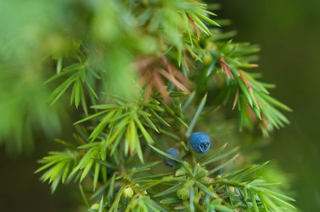 juniper: Juniperus plant. Depending on taxonomic viewpoint, there are between 50-67 species of juniper, widely distributed throughout the northern hemisphere, from the Arctic, south to tropical Africa in the Old World, and to the mountains of Central America. Stock Photo