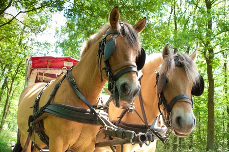 blinkers: two fjord horses pulling a covered wagon with tourists