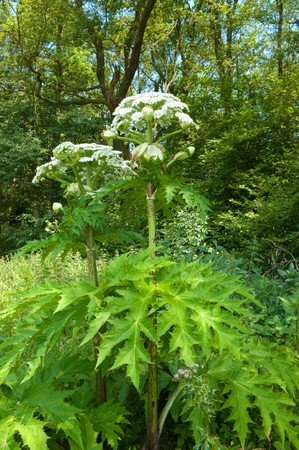 disturbed: Giant Hogweed (Heracleum Mentagazzanium), aka Cow Parship - tall (up to 15-20 feet in height), herbaceous, biennial plant that invades disturbed areas across the Northeast and Pacific Northwestern United States, and Northern Europe