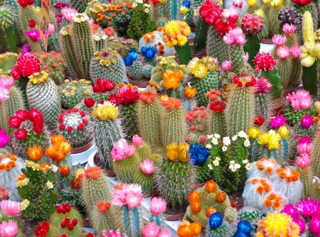 cactus botany: colorful cactusses in Amsterdam market