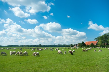 somewhere: flock of sheep grazing in a meadow somewhere in the netherlands