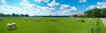 panorama shot of a herd of sheep grazing in a meadow somewhere in the netherlands Stock Photo - 7622514