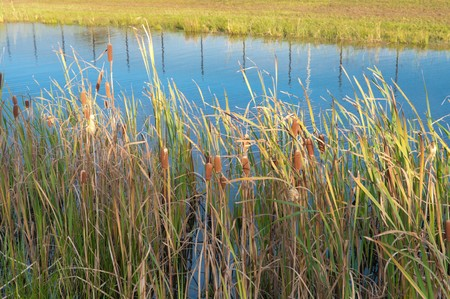 bullrush: ripe cattails and reed in a small pond Stock Photo