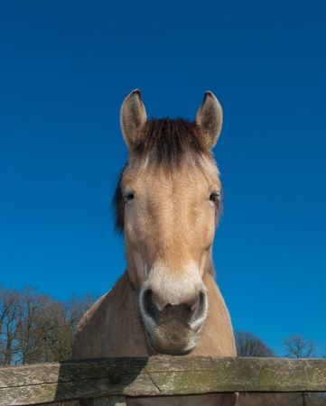 beautiful fjord horse behind a fence photo