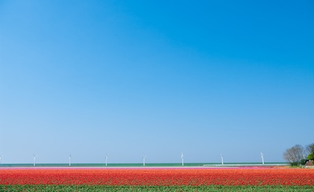 field with red tulips with windturbines in the background photo