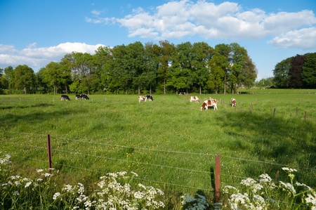 meadow with frisian cows in the eastern part of netherlands photo