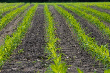 field with straight rows of young maize Stock Photo - 9877654