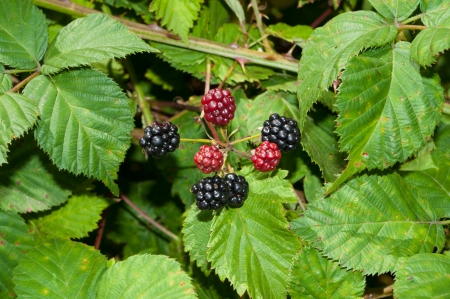 blackberry bush with ripe and unripe berries photo