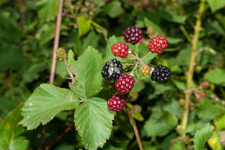blackberry bush with ripe and unripe berries and also a fly eating from one photo