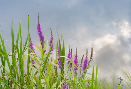 waterside: Purple loosestrife (lythrum salicaria) at the waterside of a brook Stock Photo