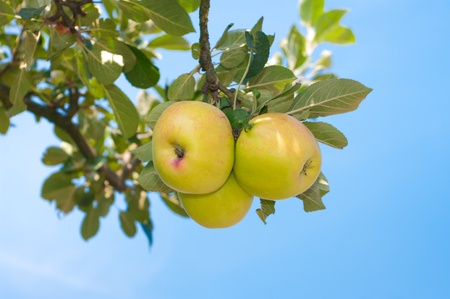 ripe green apples on an apple tree branch photo