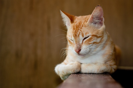 red cat with eyes closed resting  photo