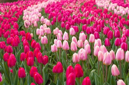 red and pink tulips in the Keukenhof, Netherlands photo