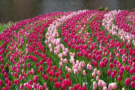 red and pink tulips in the Keukenhof photo
