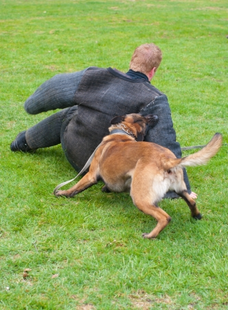 german shepherd dog attacks man in a protective suit photo