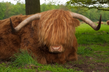 typically scottish: closeup of a scottish cow resting on the ground