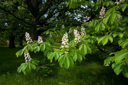 aesculus hippocastanum: flowers of a blooming horse chestnut tree   Aesculus hippocastanum
