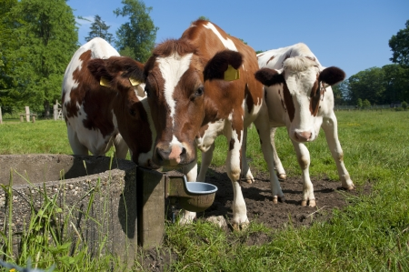 young red frisian cows around a drinking point photo