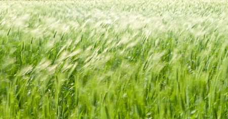 green wheat field blowing in the wind Stock Photo - 14722130