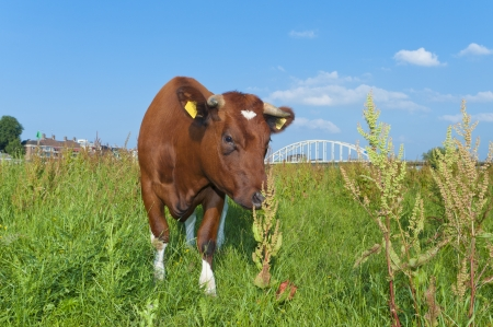 red heifer: brown cow standing in a meadow with a bridge in the background