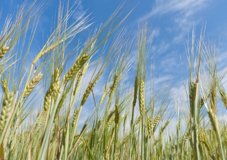 almost ripe wheat against a blue sky Stock Photo - 15466538