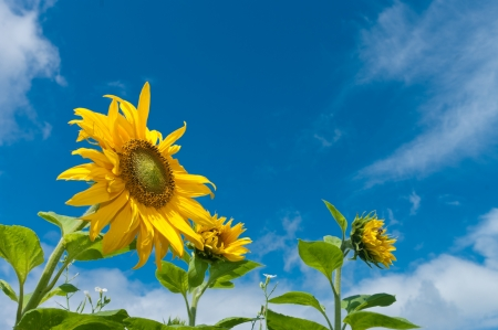 yellow sunflowers against a blue sky photo