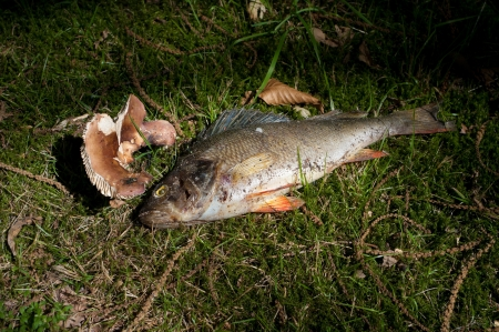 dead bass fish in the grass full with maggots Stock Photo - 16693451