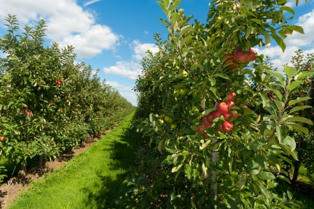 apple orchard: red and green apples in an orchard