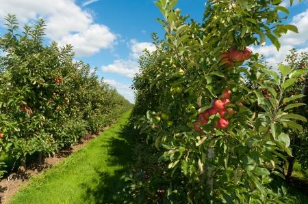 rode en groene appels in een boomgaard