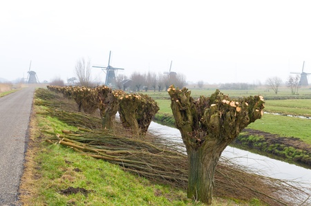 salix alba: row of knotted willow trees in a typical dutch landscape with some windmills in the background Stock Photo