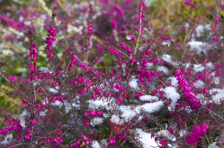 erica: blooming erica darleyensis covered with snow