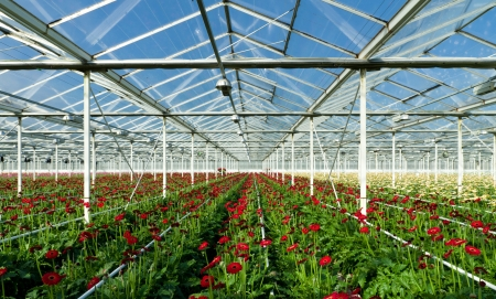 cultivation of daisy flowers in a greenhouse in Klazienaveen, netherlands