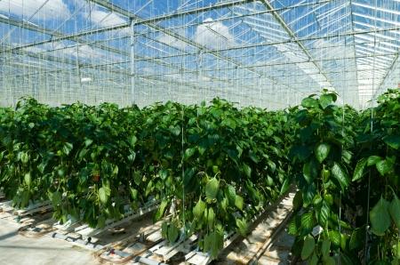invernadero: cultivo de pimientos en un invernadero comercial en Klazienaveen, Países Bajos